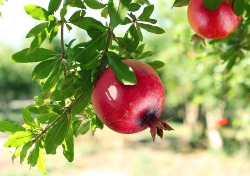 granatäpple träd sverige