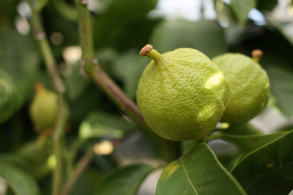 Avhärda citrusträd