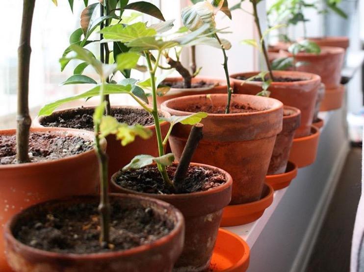 fikonträd beskärning och allmän skötsel