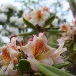 Myten om den sura Rhododendron?
