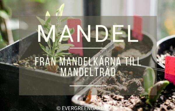 Från mandelkärna till mandelträd
