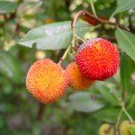 Smultronträd, en härdig vintergrön exot med spännande frukter!