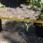 Planteringsavstånd – hur många plantor behöver jag?