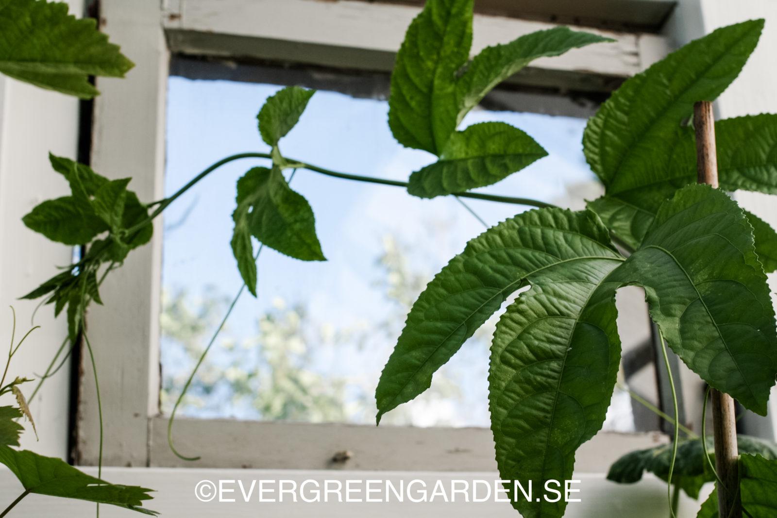 Passionsfrukt i fönster