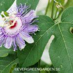 Passionsfrukt – Odla på friland, i växthus eller i kruka