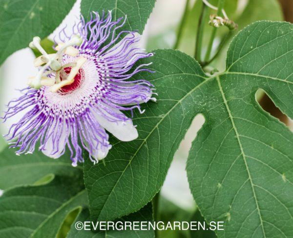 Passionsfrukt, Läkepassionsblomma, Passiflora incarntata