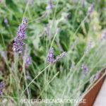 Beskär och ta sticklingar av lavendel