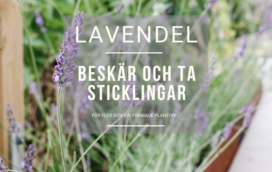 Beskr och ta sticklingar av lavendel