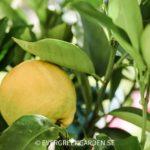 Odla Citron och andra citrusträd – De vanligaste frågorna