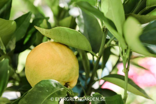 Citrusträd