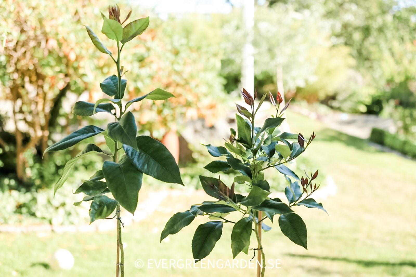 Citrusplantor