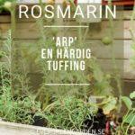 Rosmarin 'Arp', en härdig tuffing