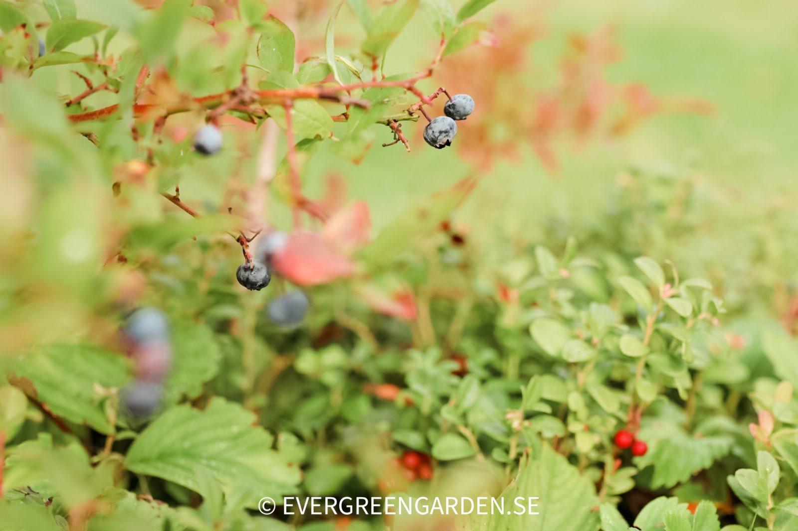 Odla blåbär och lingon