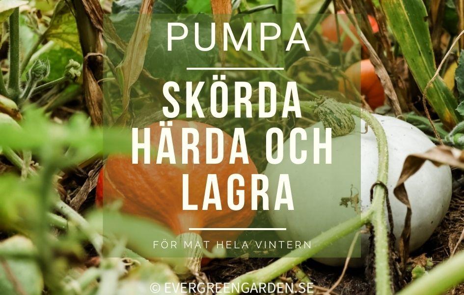 Pumpa – Skörda, härda och lagra för mat hela vintern