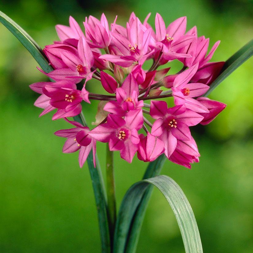 Perenna ätbara lökar Rosa berglök, Allium Oreophilum