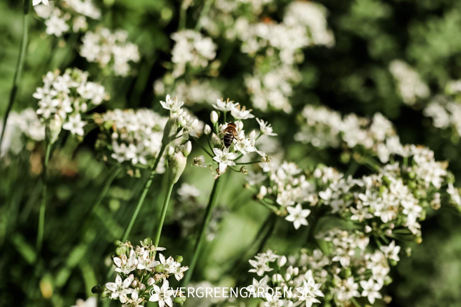 Perenna ätbara lökar Kinesisk gräslök, Allium tuberosum