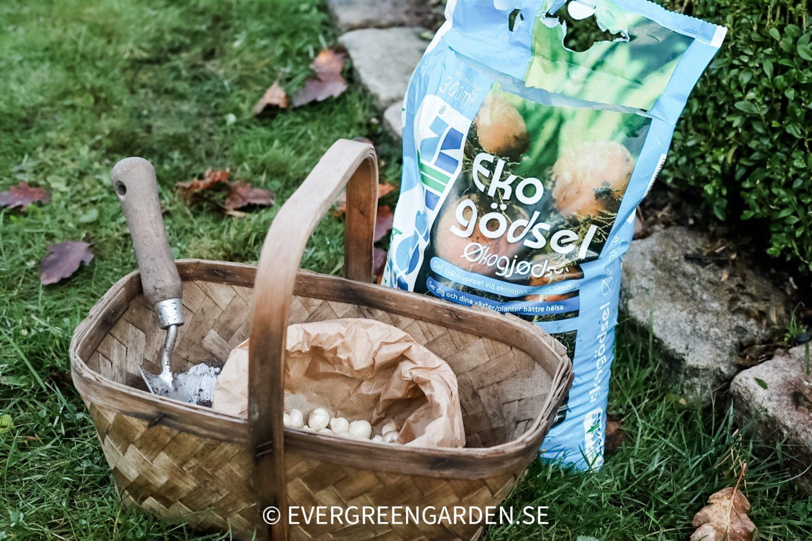Plantera perenna ätbara lökar med Algomin Ekonäring