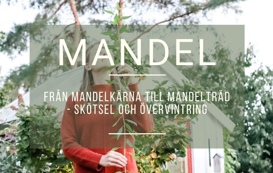 Från mandelkärna till mandelträd – skötsel och övervintring