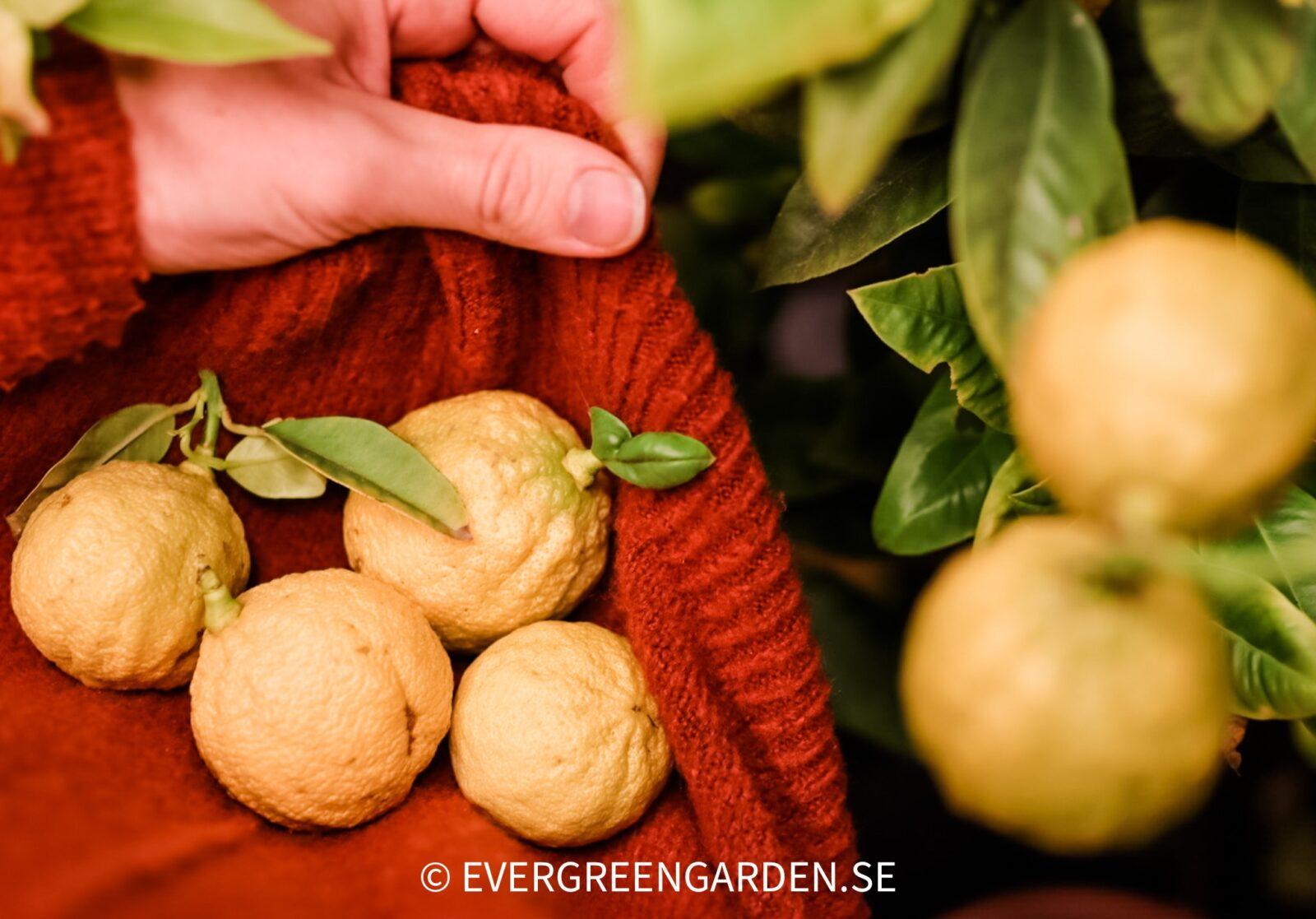 Skörd av citrus i vinterförvaring