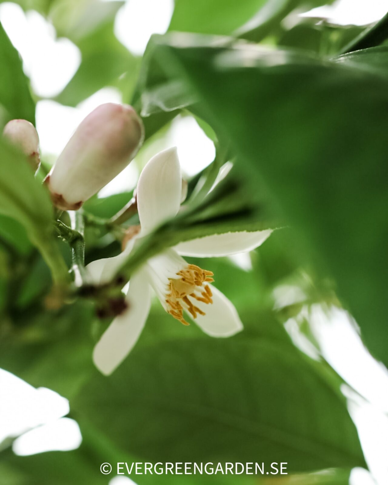 Citrusblommor och frukt