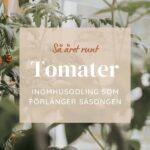 Så tomater året runt – Inomhusodling som förlänger säsongen