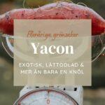 Odla Yacon – Exotisk, lättodlad & mer än bara en knöl