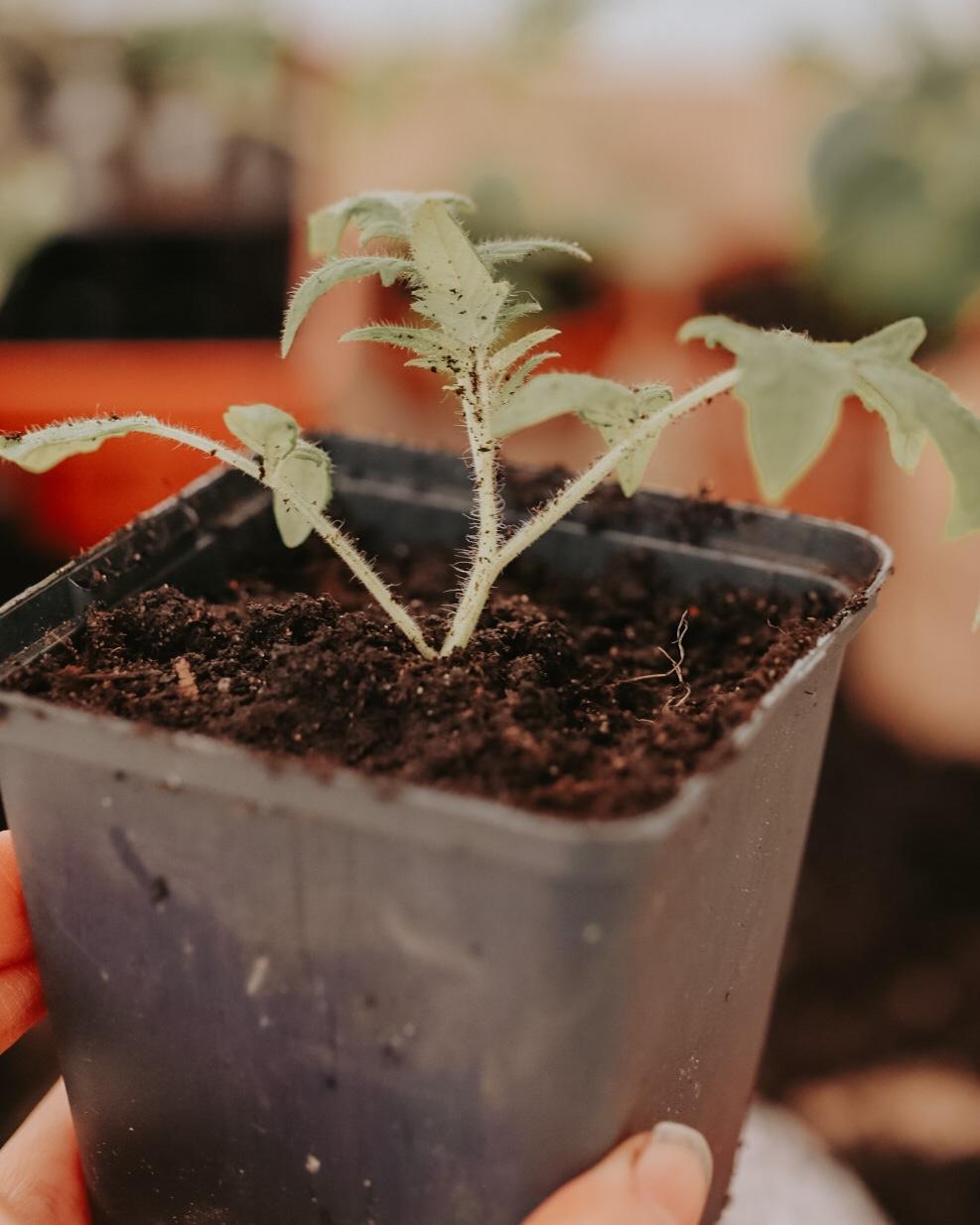 plantera tomater djupt