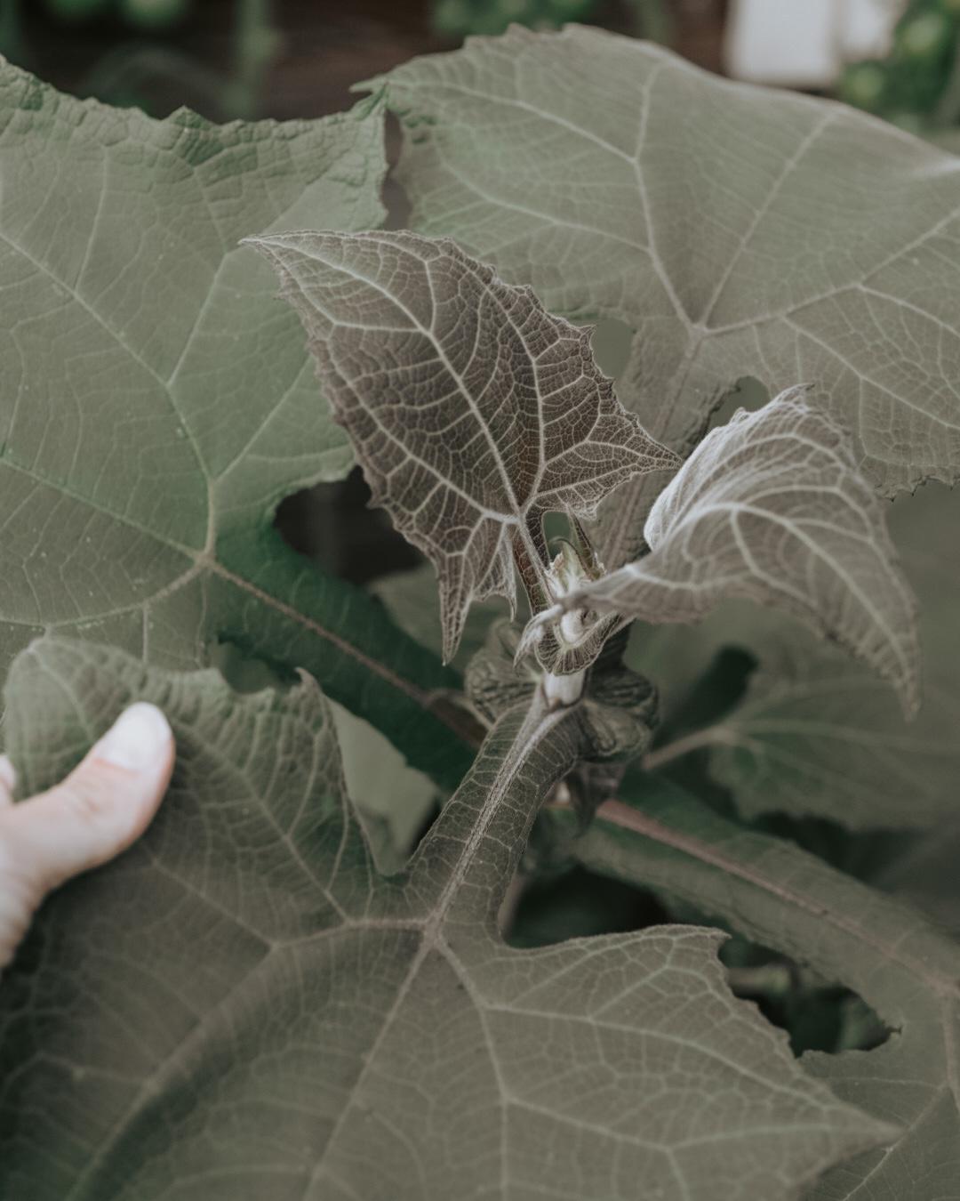 Yacun ätbara blad