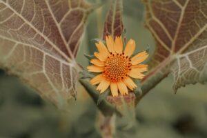 yacun flower