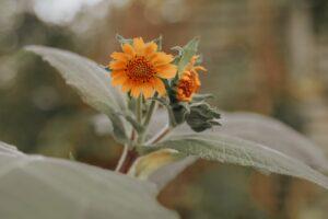 yacun blomma