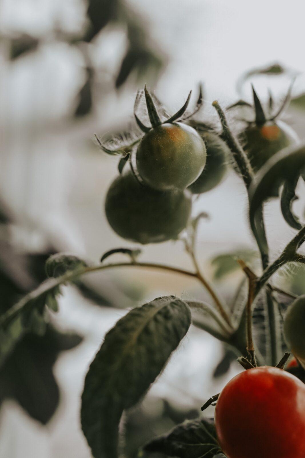 Tomater utan belysning