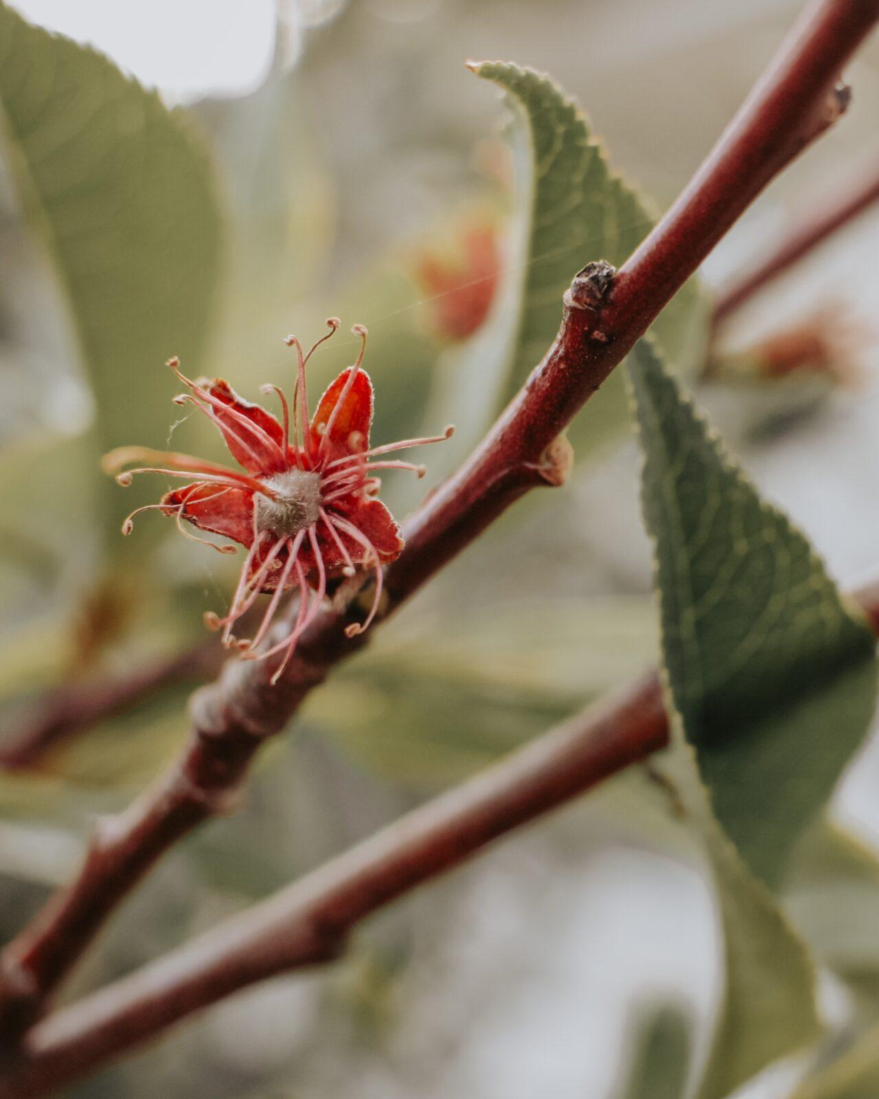 Persikoträd fruktämne härdighet