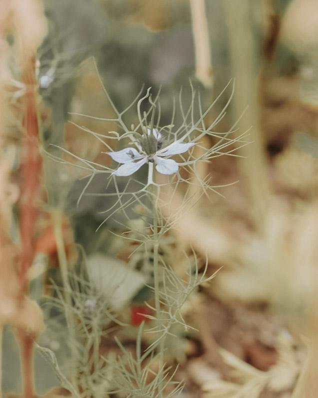 äng blå blomma